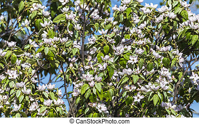 Blooming flowers on a quince tree in spring