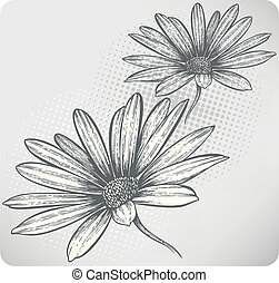 Blooming flowers Osteospermum, hand-drawing. Vector...