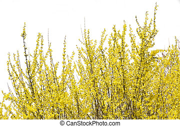 Blooming forsythia bush isolated on white