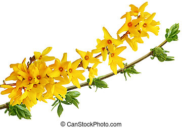 Blooming Forsythia flower isolated on white background