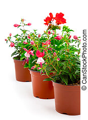 blooming fuchsia and geranium in the pot, isolated on a ...