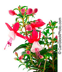 blooming fuchsia (fuschia hybrida), isolated on a white background
