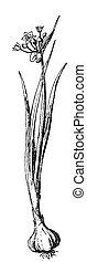 Blooming garlic - garlic illustration