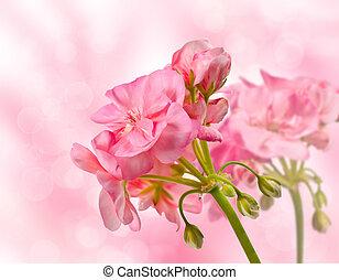 blooming geranium flower on a background bokeh