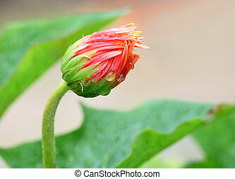 Blooming Gerbera Flower