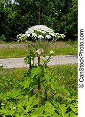 giant hogweed - blooming giant hogweed plant next to a road