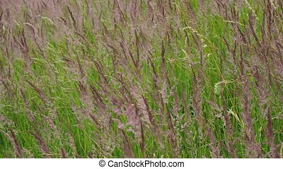 Blooming grasses in a meadow. Wind on the grass.