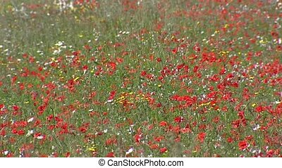 Blooming grassland with poppies - full screen.
