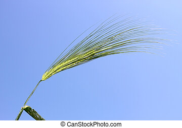 Blooming green ear of barley on the background the of blue sky