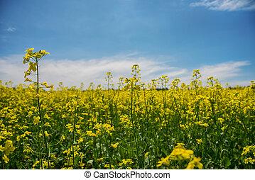 blooming, gul, rapeseed, felt, under, blå himmel, ind, collingwood, ontario
