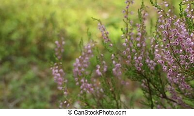 Blooming Heather pink close to, wildlife evergreen blurred background