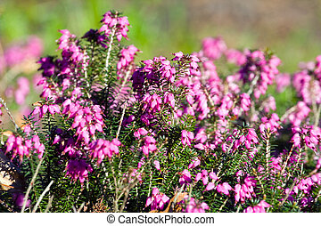 Blooming heather flowers in the garden