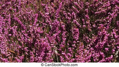 Blooming Heather in Normandy, France, Real Time