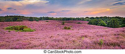 Landscape with purple blooming heather in Nature park Veluwe, Posbank, Oosterbeek, Gelderland in the Netherlands
