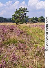 Tree between purple blooming heather in Nature park Veluwe, Ede municipality, Gelderland in the Netherlands