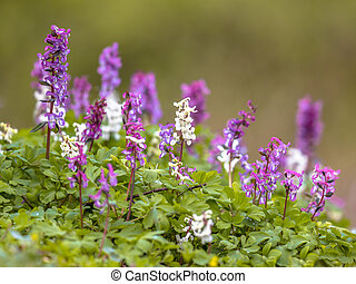 Blooming Hollowroot - Blooming Hollow-root (Corydalis cava)...