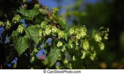 hop - blooming hop