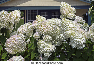 Blooming hydrangea tree - Close-up of blooming hydrangea ...