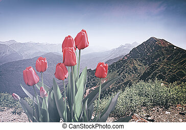Blooming in the mountains tulips.