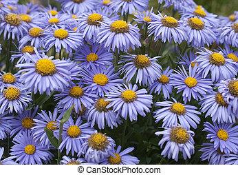 blooming in the spring garden, Alpine Aster