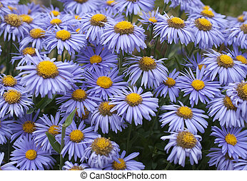 blooming in the spring garden, Alpine Aster - blossoming...