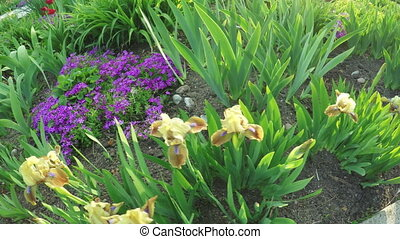 Blooming irises -  In spring garden blooming flowers irises