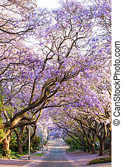 Blooming jacaranda trees lining the street in South Africa's cap