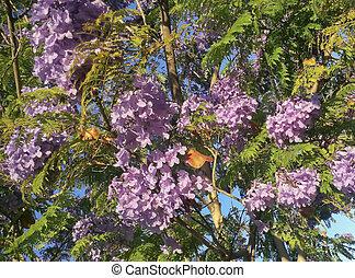Blooming Jacaranda with Fruits