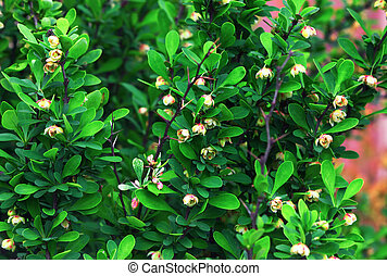Blooming Japanese Barberry Bush In The Spring Garden