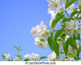 blooming jasmine against bright blue sky