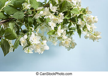 Blooming jasmine branch on a blue background with copy space.