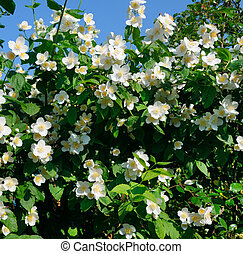 blooming jasmine bush on a background of blue sky