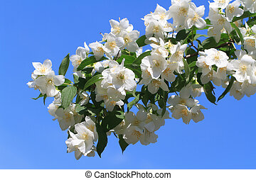 Blooming jasmine closeup against a blue sky