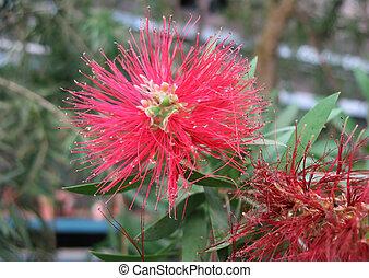 Blooming kallistemon (Callistemon)