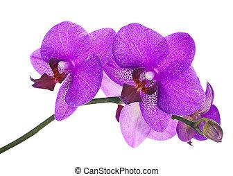 blooming, kvist, i, lilla, orkidé, isoleret, på hvide,...
