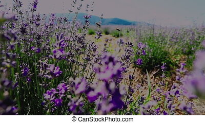Beautiful blooming lavender flowers swaying in the wind, mountains on the background. Slow motion lavender flowers at the sunny farmland, closeup