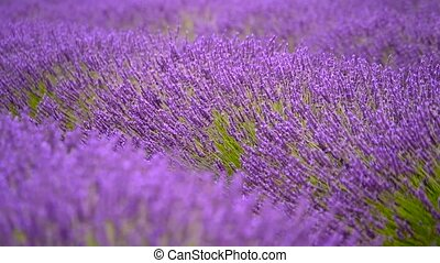 Blooming lavender in a field