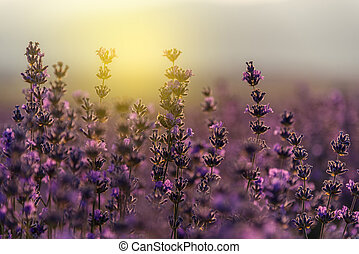 Blooming lavender in a field at sunset