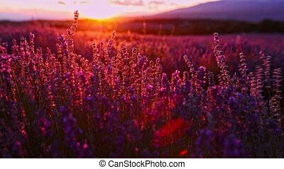 Blooming lavender in sunset - Timelapse of sunsetting over...
