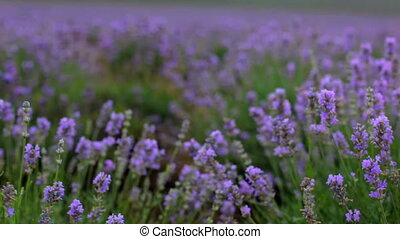 Blooming lavender - Beautiful lavender bushes close. Moving...