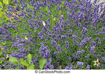 Blooming lavenders in summer garden