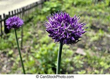 blooming lilac Allium