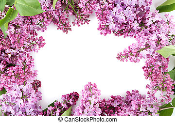 Blooming lilac flowers on a white background