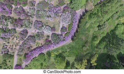 Blooming lilac in Botanic garden. Aerial view.