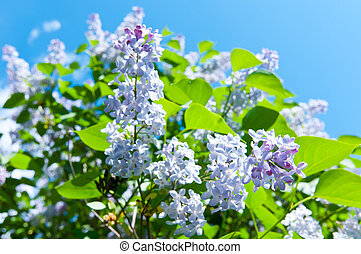 Blooming Lilac in spring