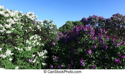 Blooming lilac in the park