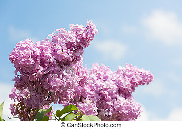 Blooming lilac on a background of blue sky