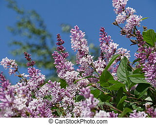 Blooming lilac ordinary on a sunny day