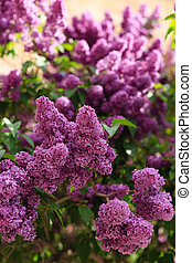 Blooming lilac shot with shallow depth of field