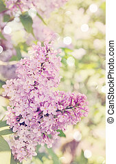 Blooming lilac, tinted - Blooming lilac branch in spring...